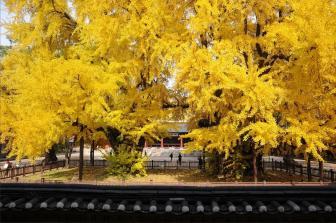 Золотая осень в университете Сонгюнгван